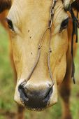 close up of cow with nose ring poster