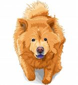 color sketch dog chow-chow runs breed isolated on the white background poster