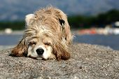 abandonned dog on a beach in calvi france poster
