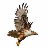 Large Hawk in flight isolated on a white background poster