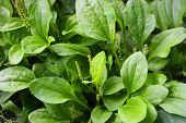 Green glade from the leaves of plantains and their seeds, fleaworts, plantago. poster