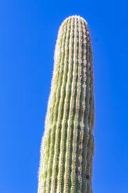 Cuctus In Saguaro National Park In Tucson Arizona