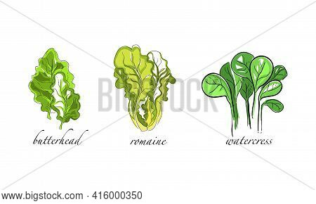 Set Of Salads And Leafy Vegetables, Butterhead, Romaine, Watercress Hand Drawn Vector Illustration