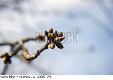 Lot Of Swollen Cherry Buds At End Of The Branch. Early Spring. Beginning Of Juice Movement. Preparin