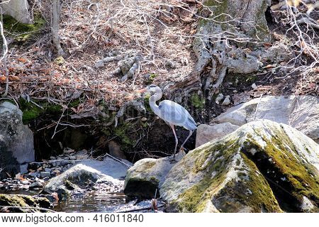 Blue Heron Strolling Along A Rocky Shore On A Sunny Early Spring Day.