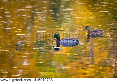 Several Ducks Swim In A Pond In The Park In Search Of Food.
