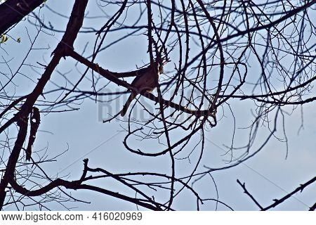 Blue Jay In Winter Tree, Canyon, Texas In The Texas Panhandle.