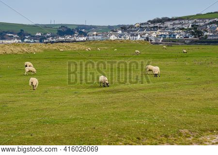 Sheep Grazing In A Field They Are Free Range And Can Roam Around The Meadow
