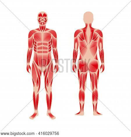 Human Muscular System Anatomical Poster. Structure Of Muscle Groups And Ligaments Of Men In Front An