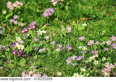 Small Colourful Flowers Grow In The Grass In A Spring Meadow Or Field