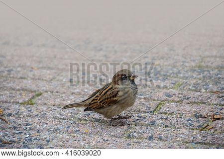 House Sparrow On The Street. Sparrows Are Accustomed To The Urban Environment