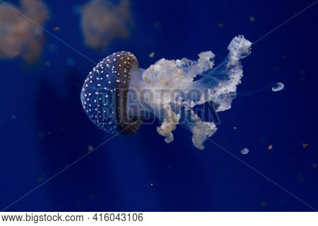 Floating Bell, Australian Spotted Jellyfish, White-spotted Jellyfish(phyllorhiza Punctata).