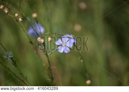 Selective Blur On A Blue And Purple Flax Flower, From The Family Linum Usitatissimum, Wild And Uncul