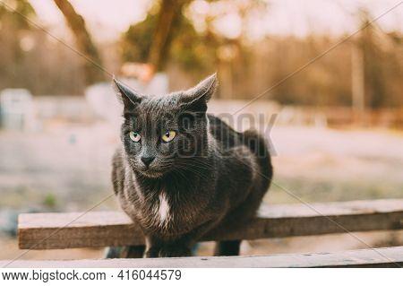 Russian Blue Cat Kitten With Green Eyes Sitting On Wooden Board In Old Village Rustic Yard. Russian