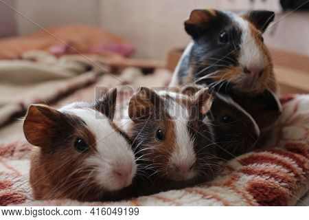 Baby Guinea Pigs With Mom Funny Pets Brown Pets With Fur Rodents