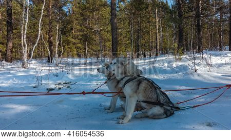 Siberian Huskies Are Harnessed And Sit On A Snowy Road Waiting For A Run. Gray-white Fluffy Dogs, Re