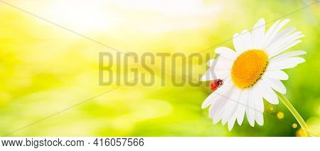 Ladybug is sitting on camomile against sun. Summer scene on the background of plants and sunlight. Landscape