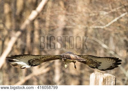 Buzzard In The Forest. Flies Into The Forest, Seen From Behind In Detail. Wildlife Bird Of Prey, But