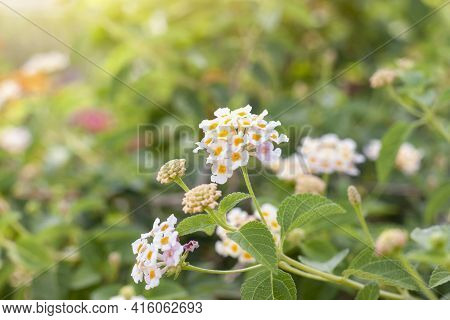 White West Indian Lantana Bloom With Sunlight In The Garden On Blur Nature Background. Is A Thai Her