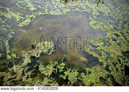 View Of A Damp With Green Moss On Water Surface.