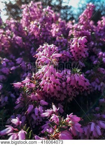 Low-growing, Spreading Winter Heath, Spring Heath Or Alpine Heath (erica Carnea) With Evergreen Need