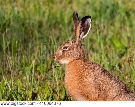 The European Hare Or Brown Hare Feeding And Eating Grass Surrounded With Greenery Early In The Morni