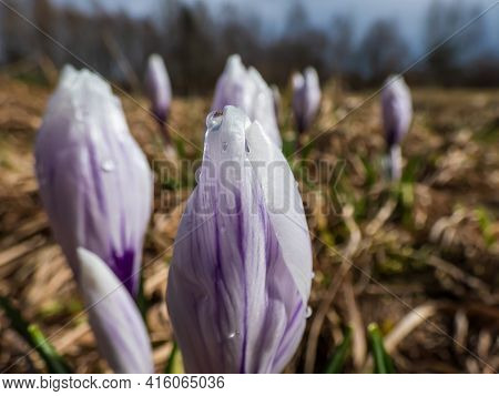 Beautiful Macro Shot Of White Spring Crocus With Purple Lines In Bloom With Closed Petals In Sunligh
