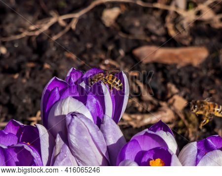Macro Shot Of A Purple Spring Crocuses (crocus Vernus) In Bloomwith A Bee (apis Mellifera) Collectin