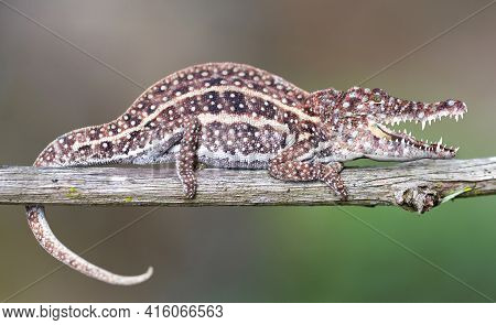 Small Colorful Chameleon With Crocodile Head Resting In A Tree, Weird Nature