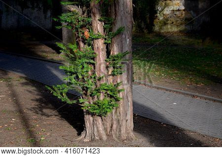 Coniferous Tree Suitable For Low And High Hedges. It Also Tolerates More Pronounced Shading, It Rege