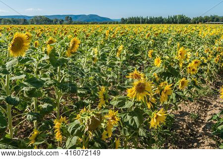 Blooming Sunflowers Field In France, Europe Union
