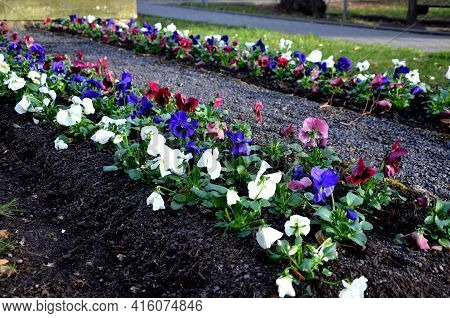 Striped Annual Flower Bed Made Of White Red And Blue Low Violet. In The Park By The Monument, A Touc