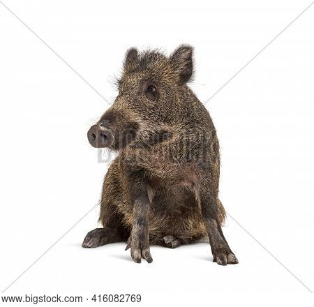 Sitting Wild boar, isolated on white, Weird position