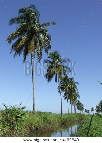 Lined Coconut Trees