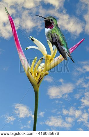 Humming Bird Perched On A Parrot's Beak Heliconia Latin Name Heliconia Psittacorum Flower