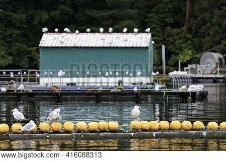 Neets Bay, Alaska / Usa - August 18, 2019: Seagulls At Neets Bay, Neets Bay, Alaska, Usa