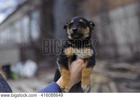 Girl Holding A Small Abandoned Puppy In His Hands On A Street. Little Stray Mongrel Puppy. Black Hom