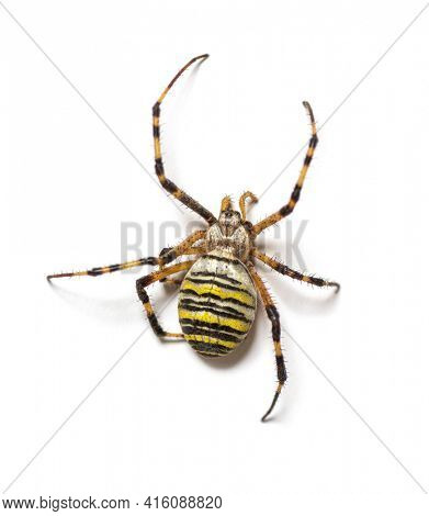 Back view Argiope bruennichi, wasp spider, is a species of orb-web spider