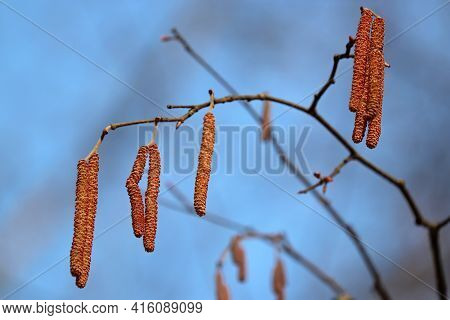 Hazel Catkins On A Tree Branch On Blue Sky Background. Forest In Early Spring, Allergenic Plant