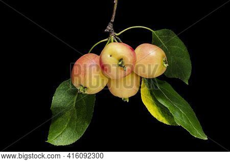 A Branch Of An Apple Tree With Ripe Red-yellow Apples. Autumn Fruits. Black Isolated Background. Ful