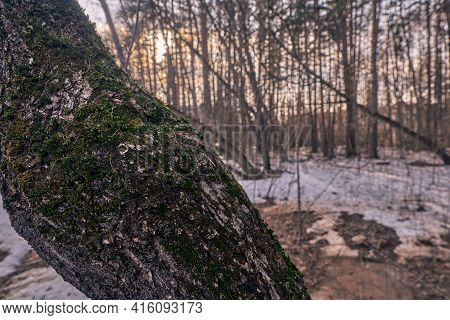 A Forest Park, A Tree Trunk Covered With Moss. The Rays Of The Sun Make Their Way Through The Trees.