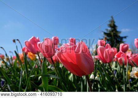 Close Up Of A Beautiful Red Tulips And Other Colorful Flowers Against A Blue Sky In France