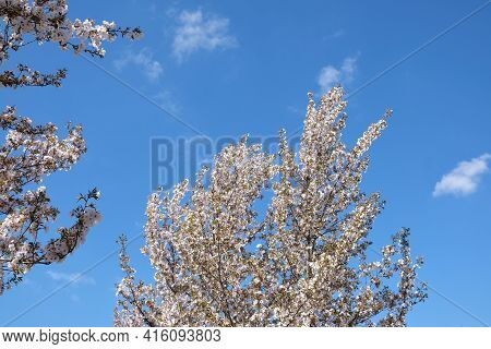 Beautiful Tree Blooming In Spring Time With A Blue Sky In The Background In France