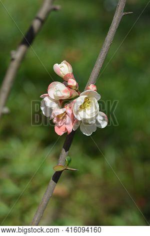 Japanese Flowering Quince Alba - Latin Name - Chaenomeles Japonica Alba