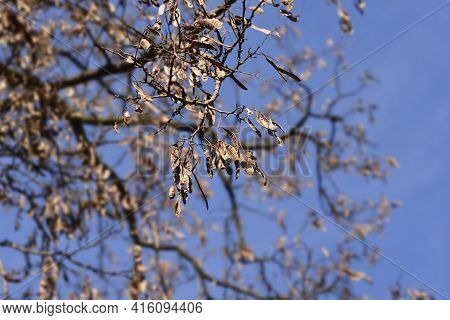 Black Locust Seed Pods On Branches - Latin Name - Robinia Pseudoacacia
