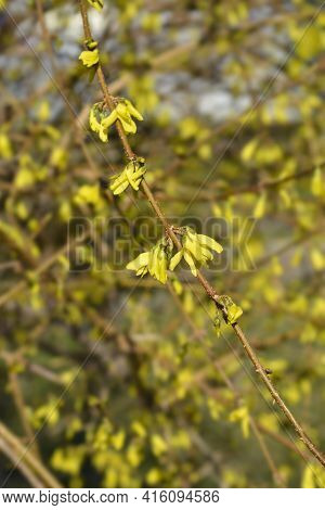 Weeping Forsythia Yellow Flowers - Latin Name - Forsythia Suspensa