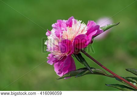 Sprig Of Amazing Terry Bright Cream - Pink  Pion Flower With Long Green Leaves On Blurred Green Flor