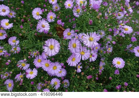 Pink Flowers In The Leafage Of Michaelmas Daisies In October
