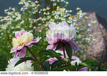 Beautiful Some Light  Pink   Terry Pion Flower On Blurred Wild Chamomile Flowers And Large Granite S