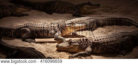 Baby Alligator On The Sand Indoors In The Everglades Park. Crocodiles At The Show For Tourists. Natu